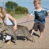 Саванна — самая крупная домашняя кошка. (11 фото)