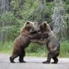 Прикольное фото. Драка медведей из-за лосося. (8 фото)
