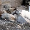 Лиса подружилась с ванской кошкой. (9 фото)