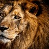 Фото. «Царь зверей»