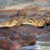 Фотомиг. Крокодил стал жертвой бегемотов. (5 фото)