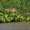 Ягуар проучил крокодила. (8 фото)