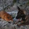 Неразлучные друзья — собака и лиса. (10 фото)
