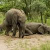 Прикольные фото животных. Пьяные слоны. (8 фото)