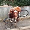 Корова с велосипедом (2 фото)