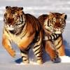 Красивые фото животных. Тигры. (21 фото)