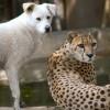 Фото. Верные друзья пёс и гепард. (22 фото)