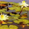 Фото. Цветы на воде. (19 фото)