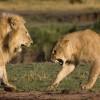 Фото. Львиные разборки — «Кто в прайде хозяин»  (6 фото)
