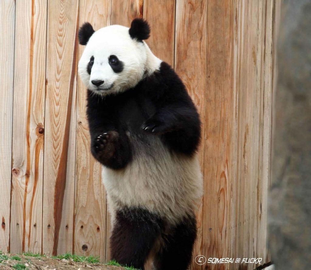 Трахающиеся панды фото 17 фотография