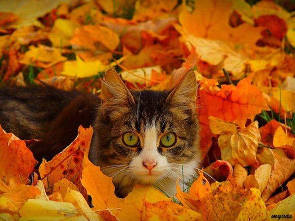 Картинки котик в осенних листьях
