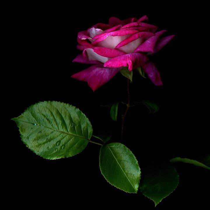 Профессиональные цветов розы