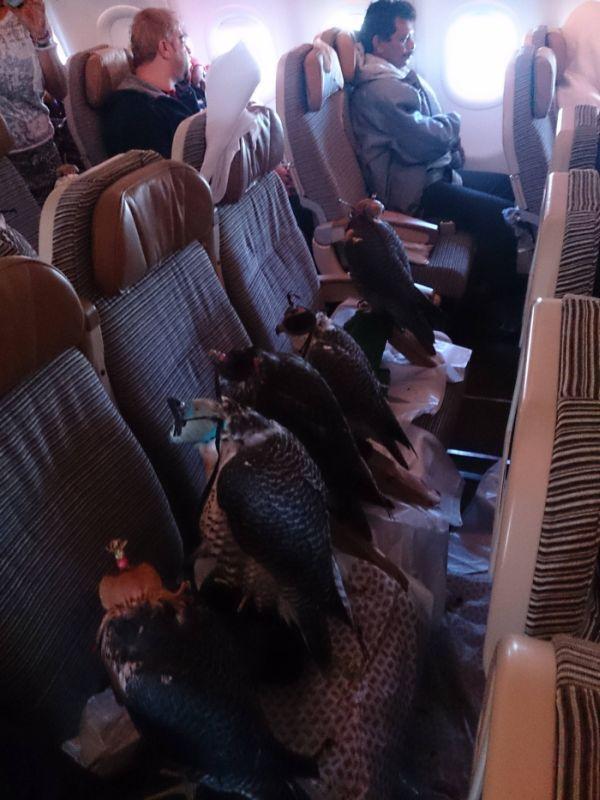 Соколы на борту самолета (4)