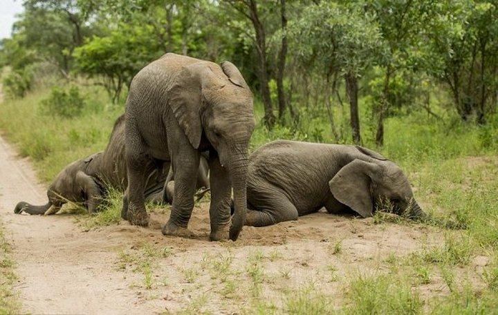 фото, животные, пьяные слоны (1)