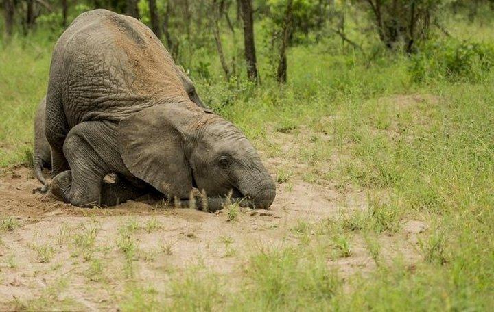 фото, животные, пьяные слоны (3)