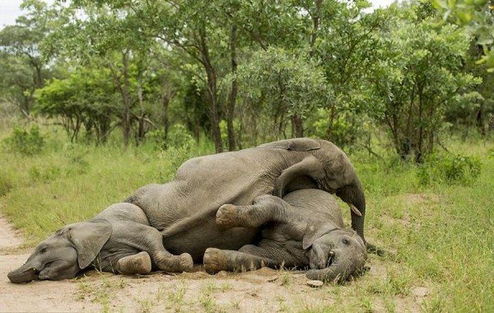 фото, животные, пьяные слоны (5)