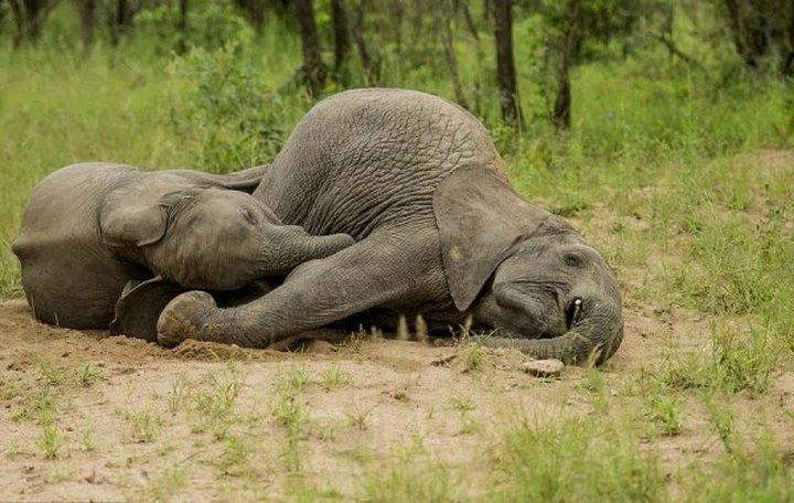 фото, животные, пьяные слоны (6)