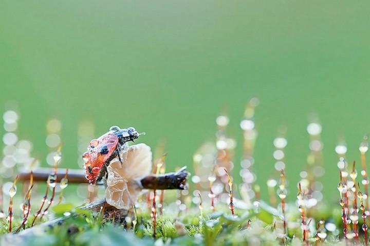 Макро фотографии божьих коровок (5)