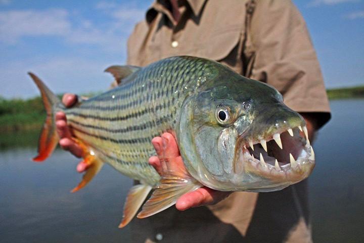 Самые опасные рыбы (2)