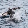 Морской лев отобедал акулой. (5 фото)