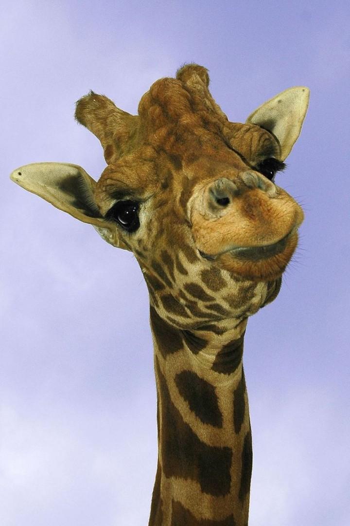 Прикольные картинки жирафик