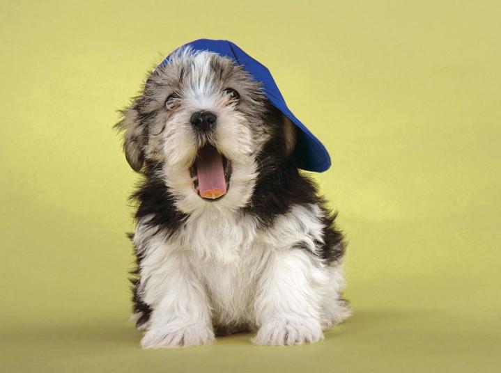 Собаки в шляпах (12)