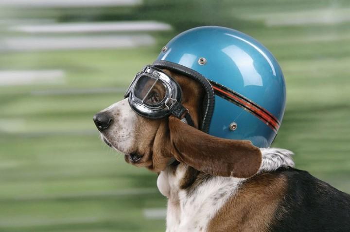 Собаки в шляпах (4)