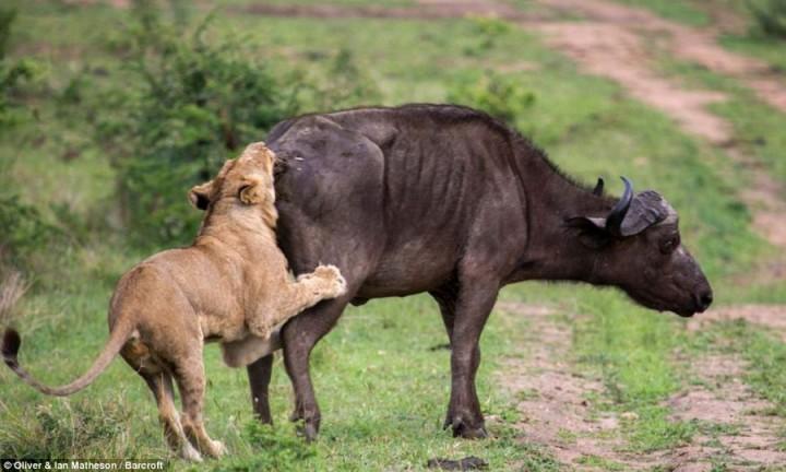 фото, животные, поединки (8)