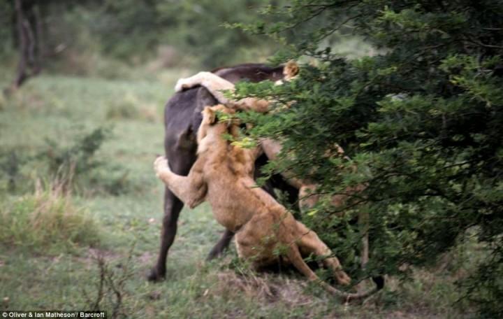 фото, животные, поединки (11)