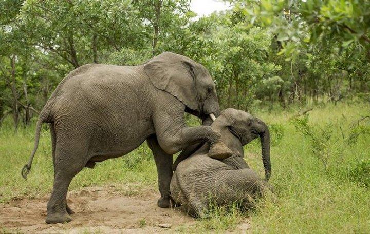 фото, животные, пьяные слоны (2)