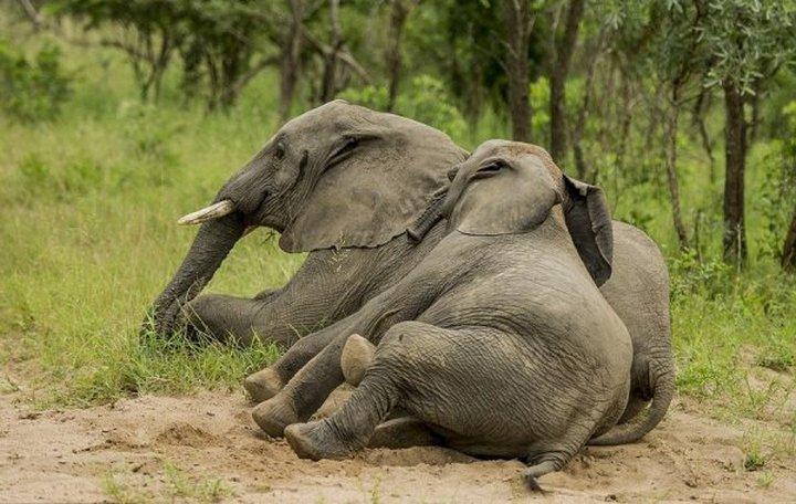фото, животные, пьяные слоны (4)