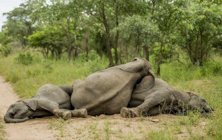 фото, животные, пьяные слоны (7)