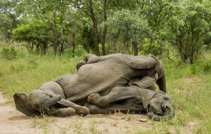 фото, животные, пьяные слоны (8)