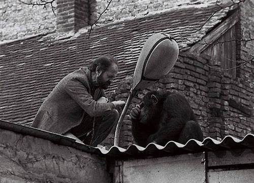 шимпанзе Сами